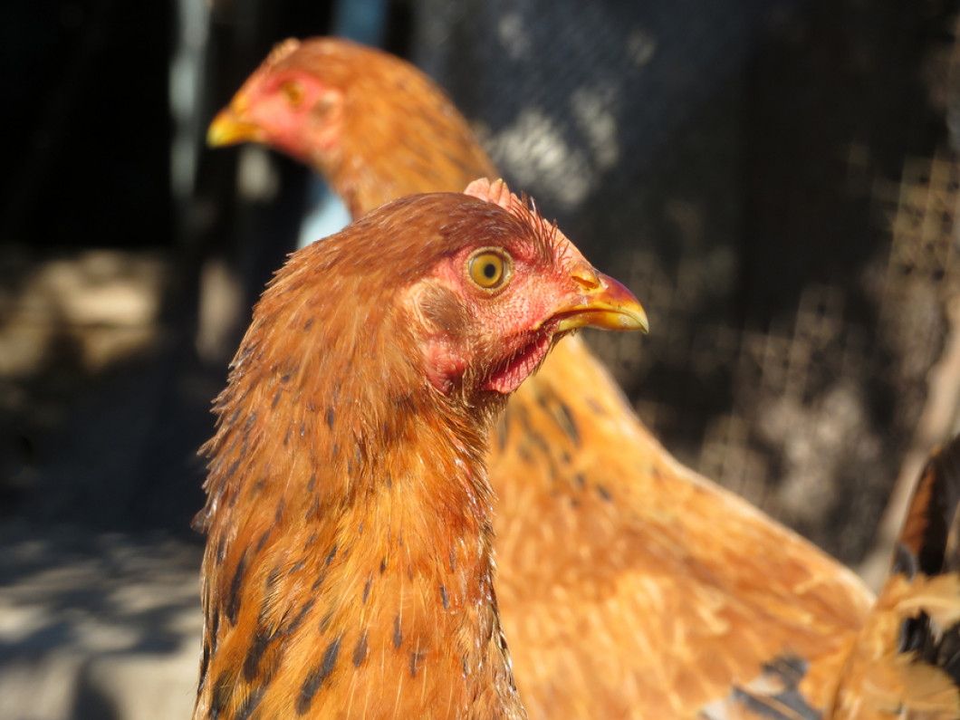 Why should you invest in a chicken coop?